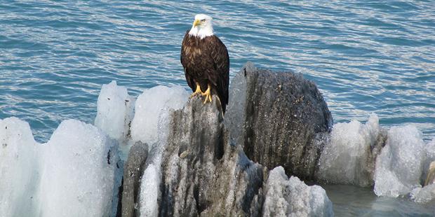 alaskan-dream-inside-passage-eagle