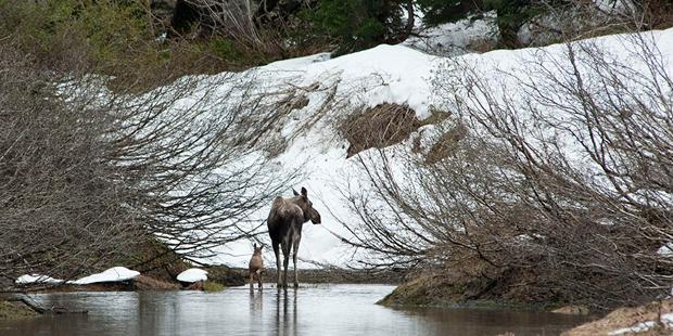 alaskan-dream-moose
