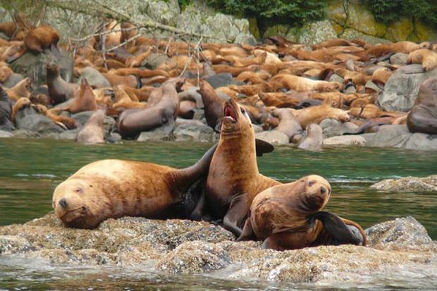 uncruise-sea-lion